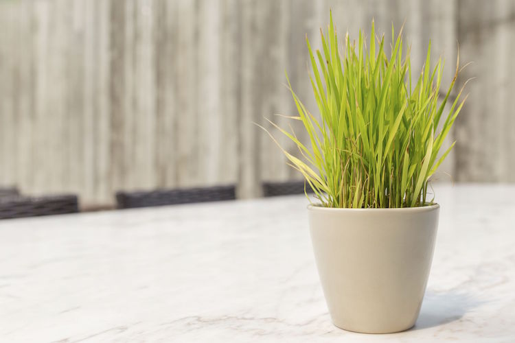 13 plantes anti-moustiques , répulsives et efficaces
